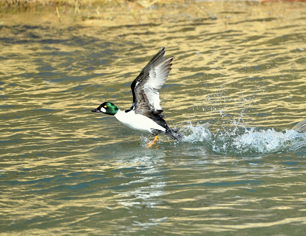 Common Goldeneye – Male | Pilar, New Mexico | February, 2014