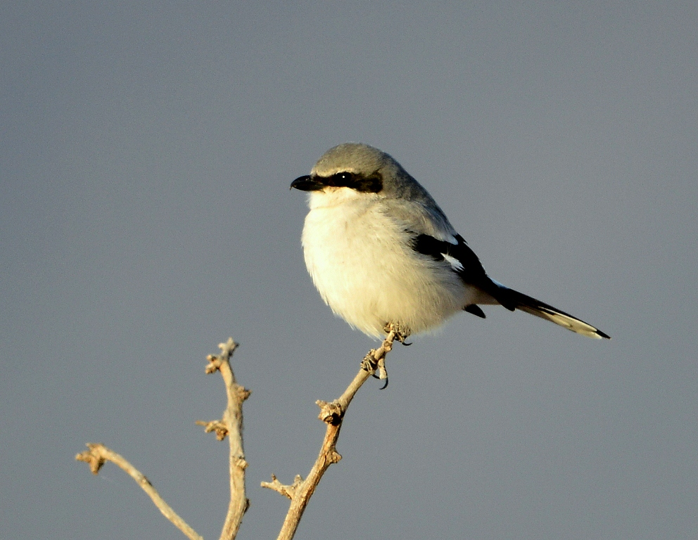 Loggerhead Shrike | Portal, Arizona | February, 2014