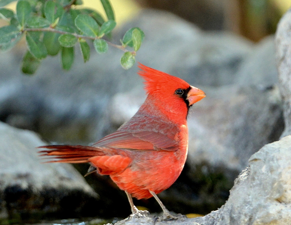Northern Cardinal – Male | Portal, Arizona | February, 2014