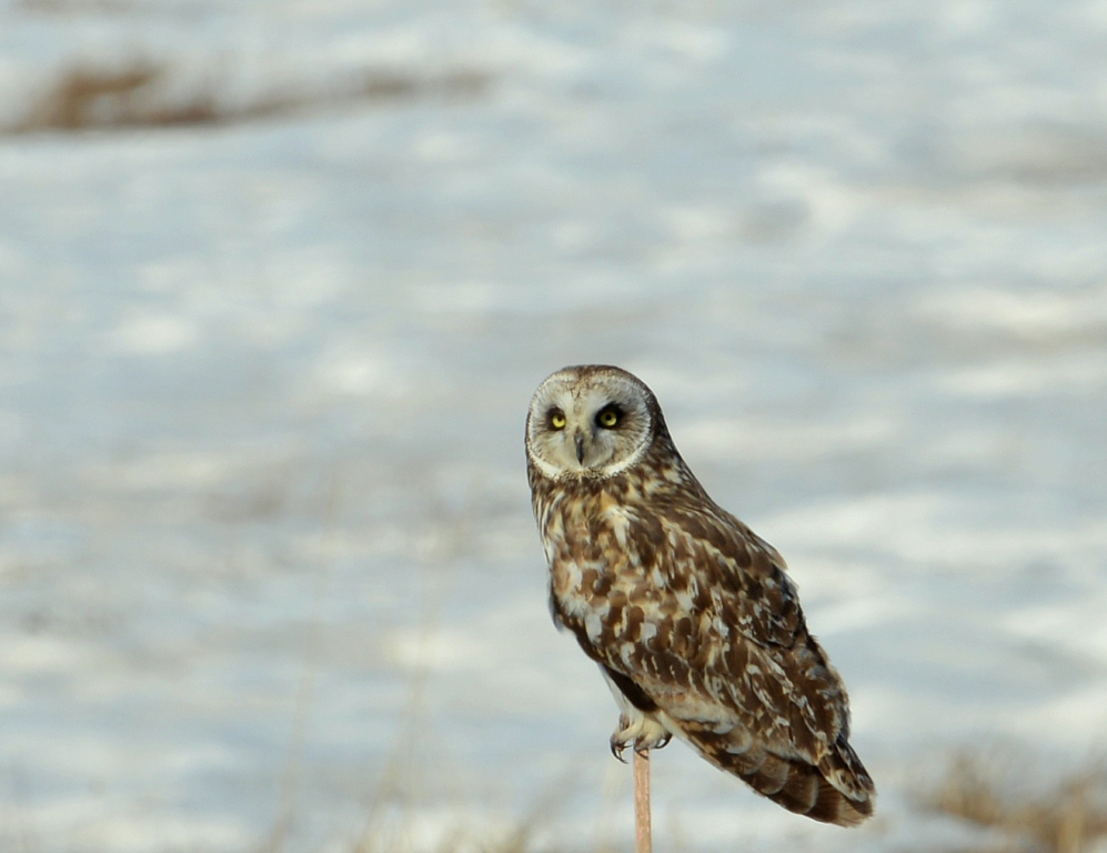 Short-eared Owl | Deadhorse, Alaska | May, 2013