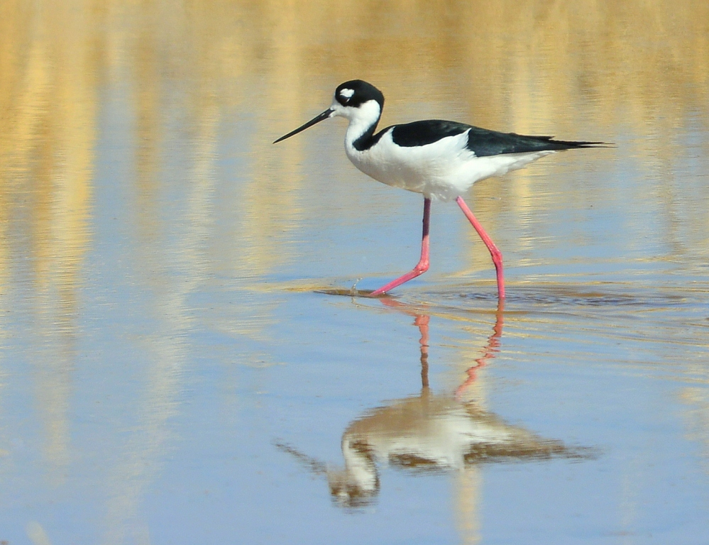 Black-necked Stilt | Belen, New Mexico | March, 2014