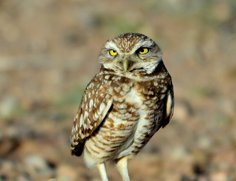 Burrowing Owl   Belen, New Mexico   March, 2014