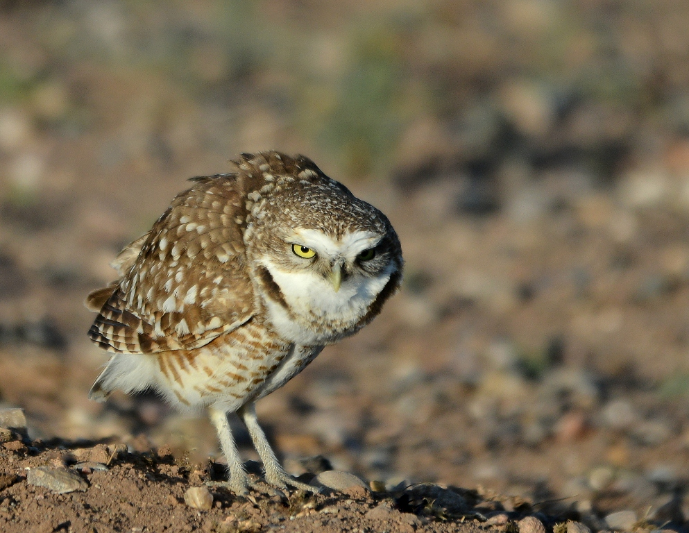 Burrowing Owl | Belen, New Mexico | March, 2014