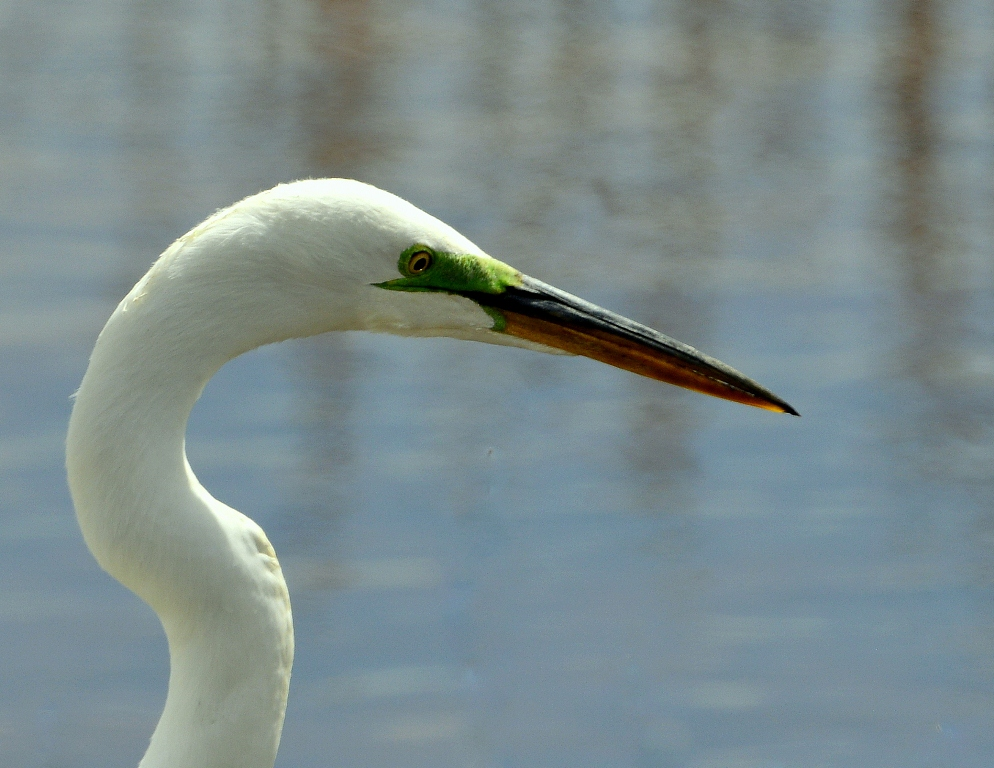 Great Egret | Bosque del Apache | April, 2014