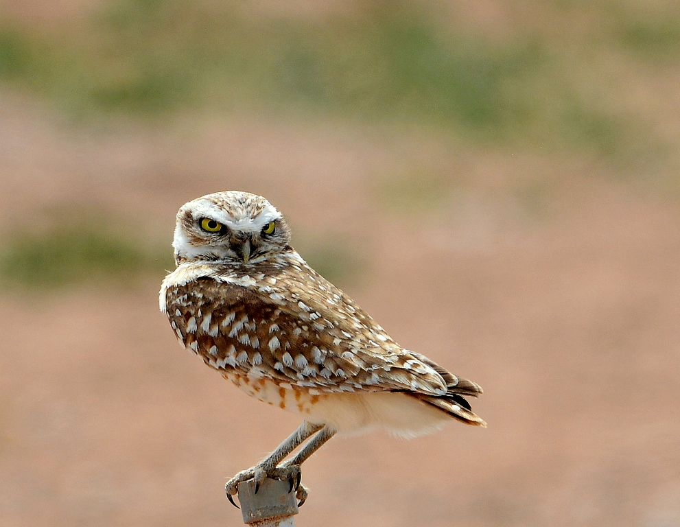 Burrowing Owl | Belen, New Mexico | April, 2014