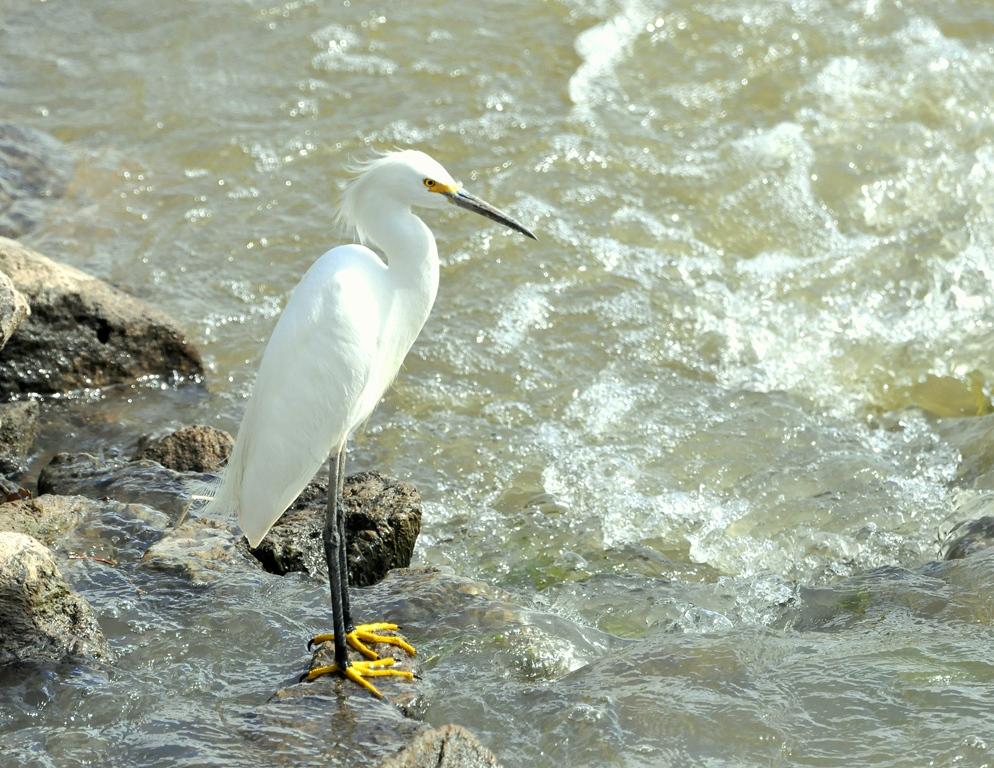 Snowy Egret | Bosque del Apache | June, 2014