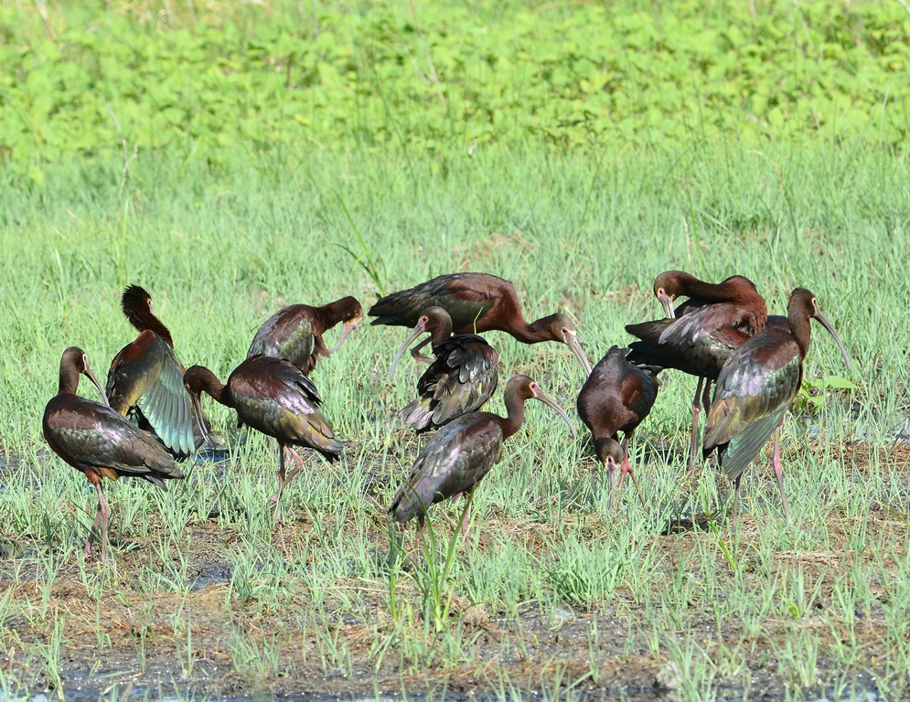 White-faced Ibis | Bosque del Apache | June, 2014