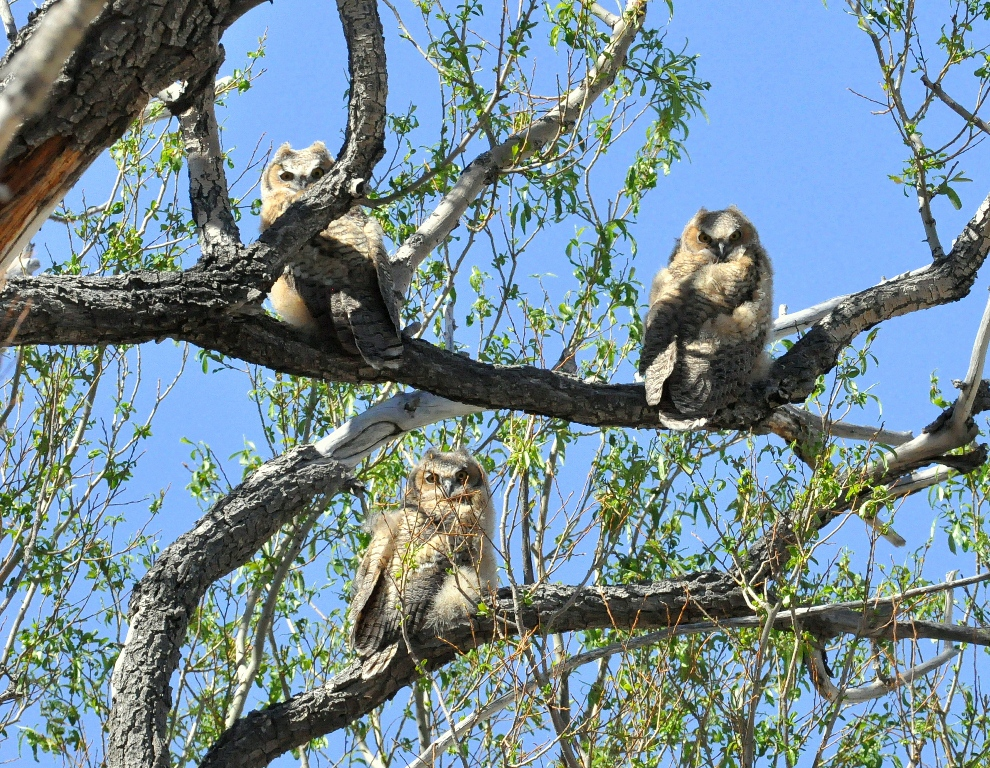 Great Horned Owls – Immature | Alamosa, Colorado | June, 2014