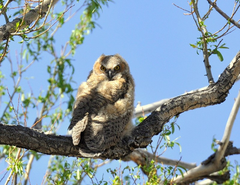Great Horned Owl – Immature | Alamosa, Colorado | June, 2014