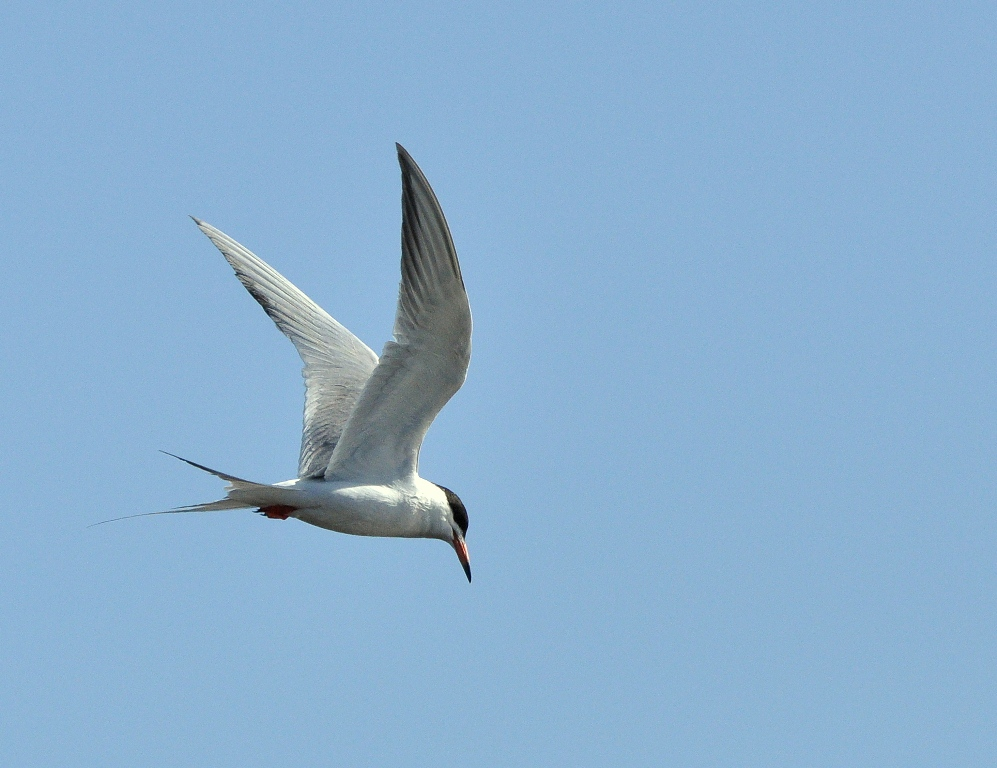 Forster's Tern | Walden, Colorado | June, 2014