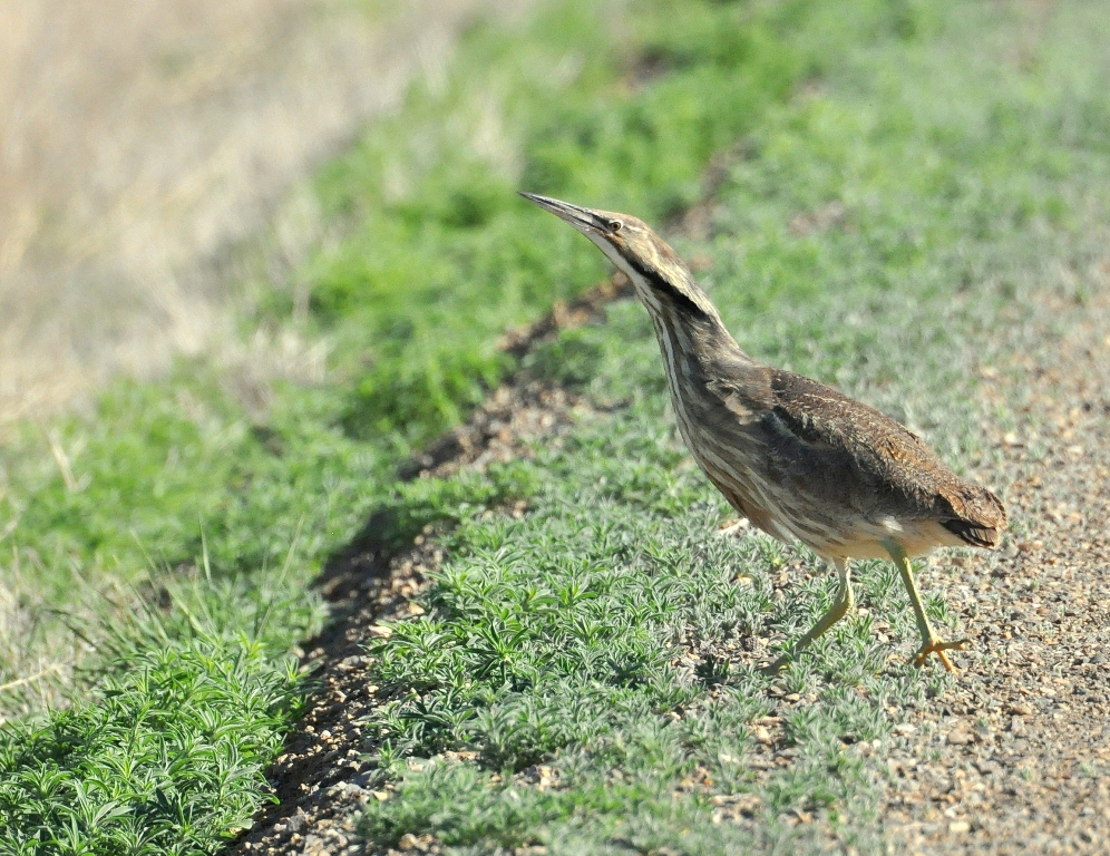 American Bittern | Alamosa, Colorado | June, 2014