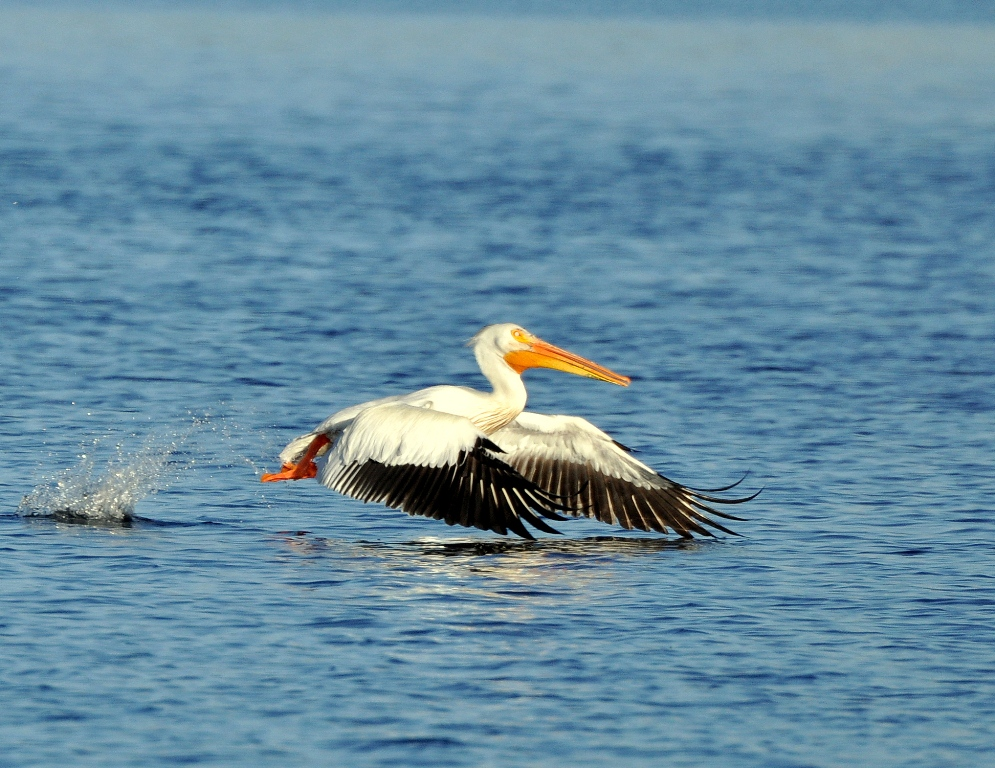 American White Pelican | Walden, Colorado | June, 2014