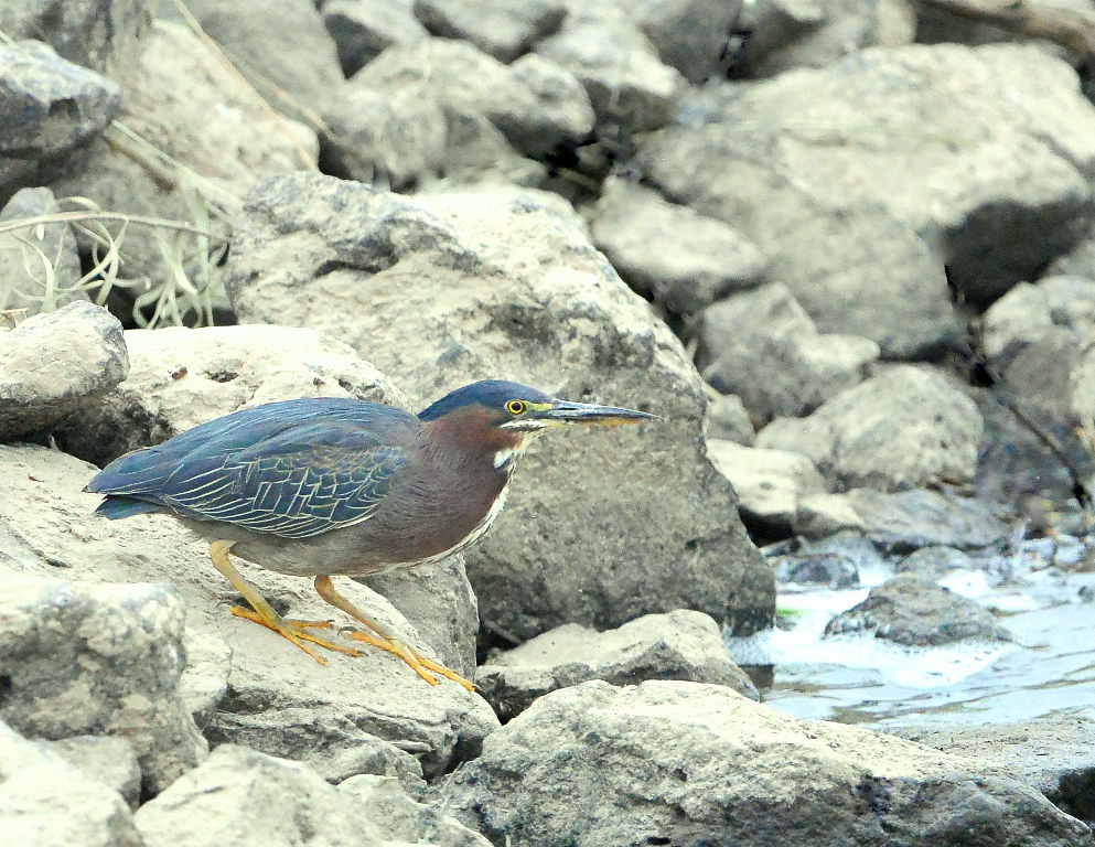 Green Heron | Bosque del Apache | June, 2014