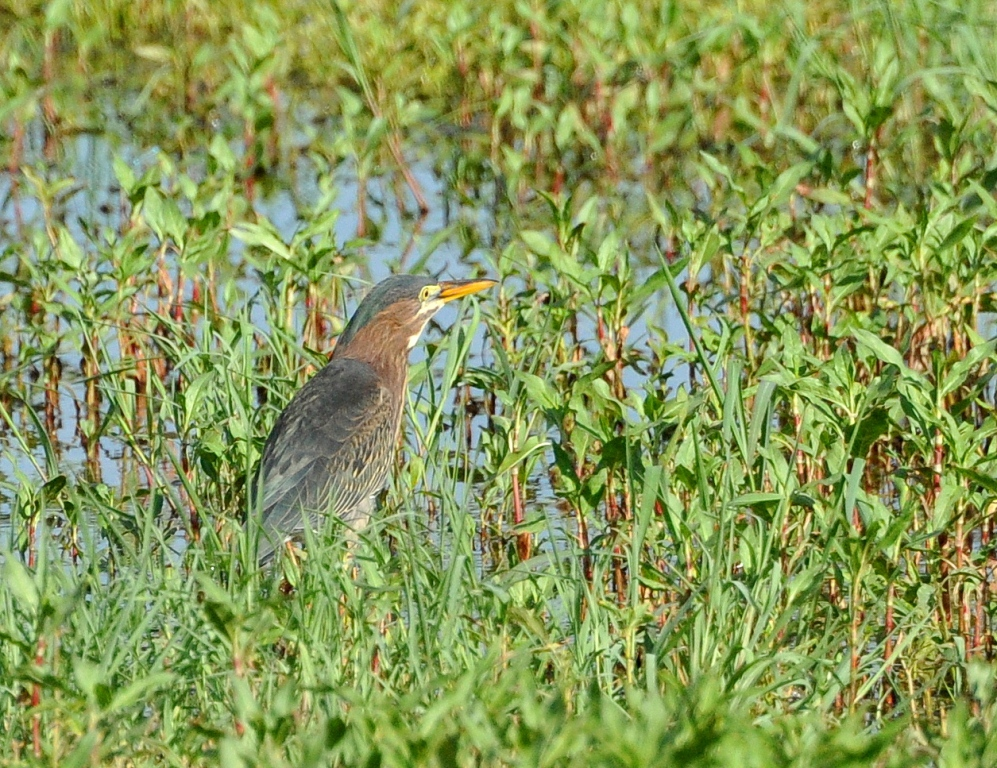 Green Heron | Bosque del Apache | July, 2014