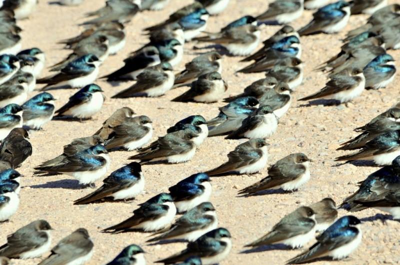Tree Swallow | Bosque del Apache | April, 2011