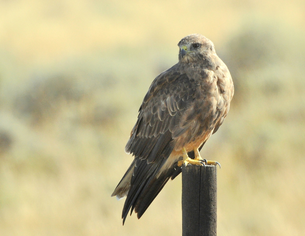 Swainson's Hawk | Walden, Colorado | August, 2014