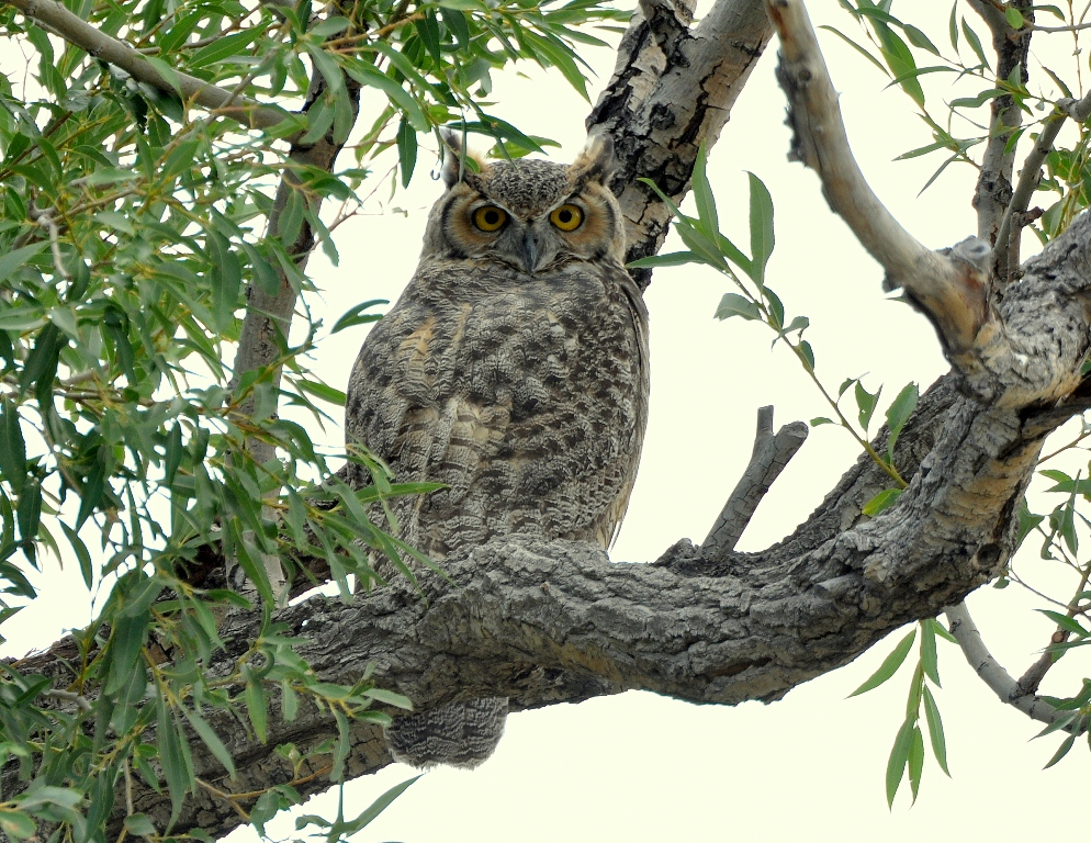 Great Horned Owl | Alamosa, Colorado | August, 2014