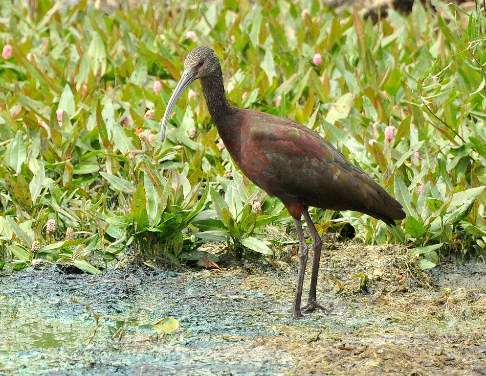 White-faced Ibis | Walden, Colorado | August, 2014