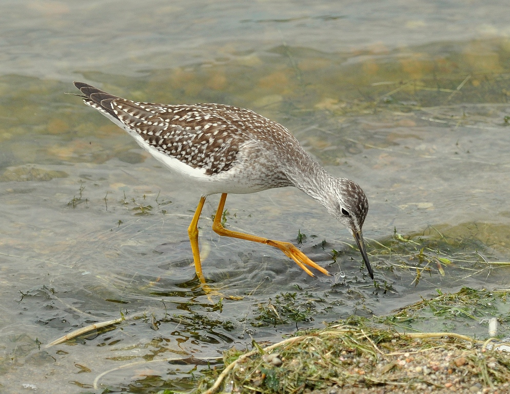 Lesser Yellowlegs | Walden, Colorado | August, 2014