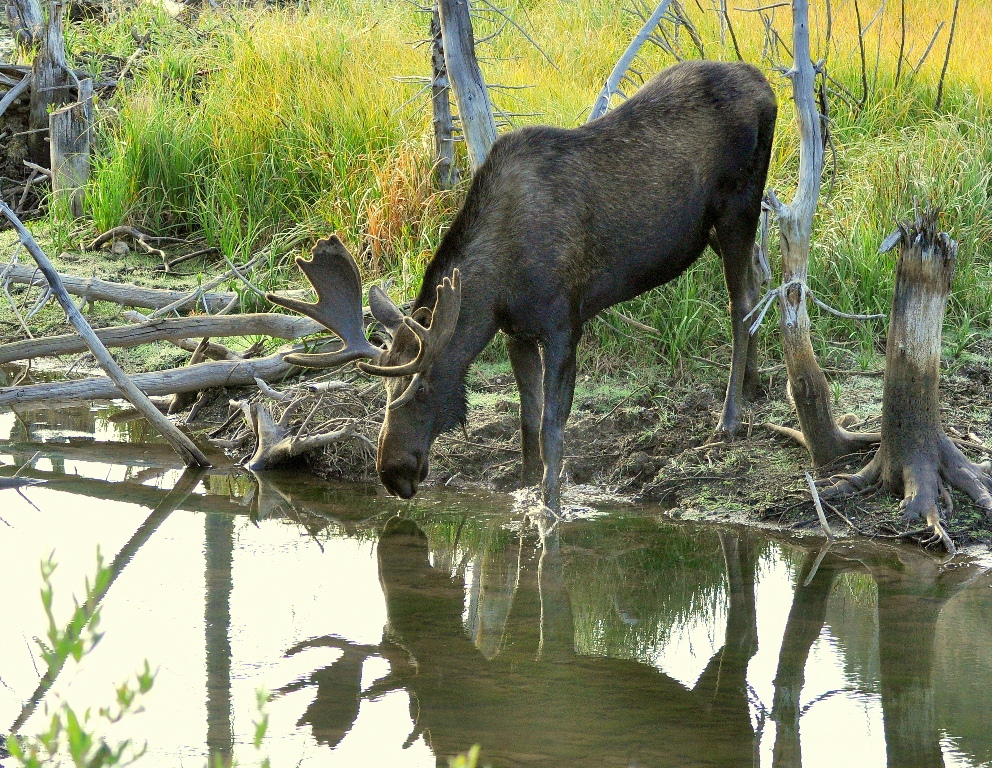 Moose – Bull | Walden, Colorado | August, 2014