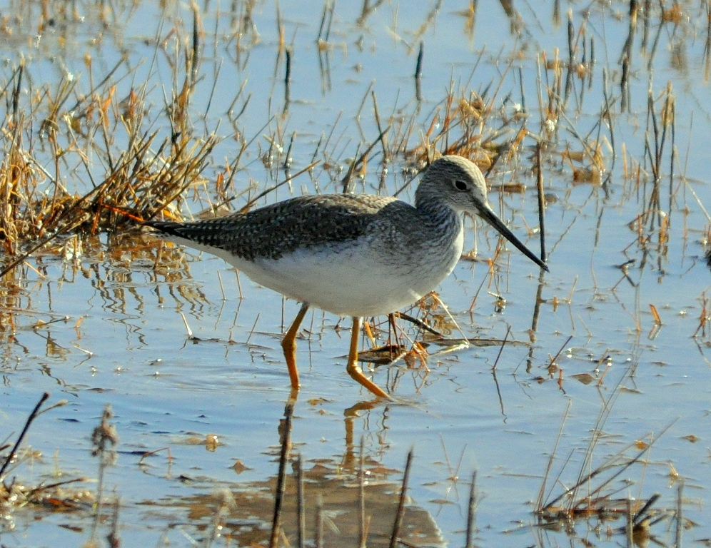 Greater Yellowlegs | Bosque del Apache | December, 2009