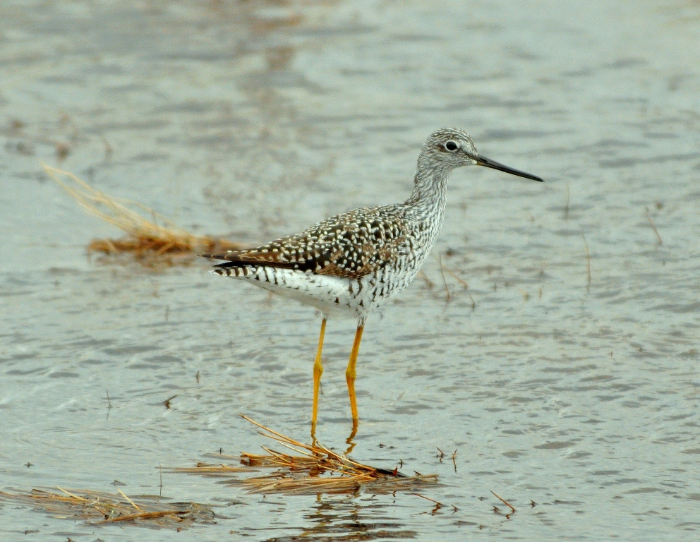 Greater Yellowlegs | Walden, Colorado | March, 2010