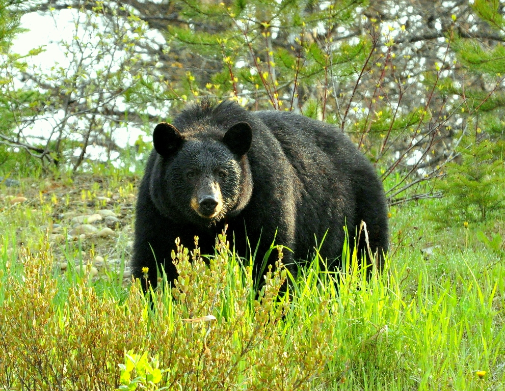 Black Bear | Chetwynd, British Columbia | May, 2011