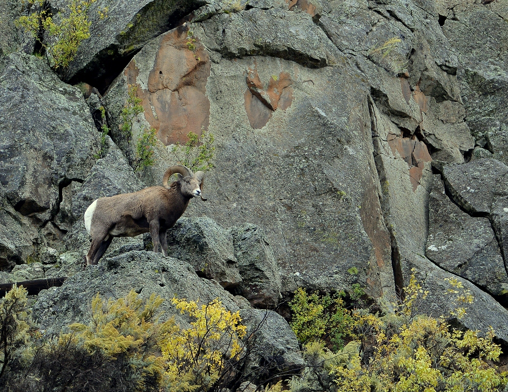 Bighorn Sheep – Ram | Pilar, New Mexico | October, 2014