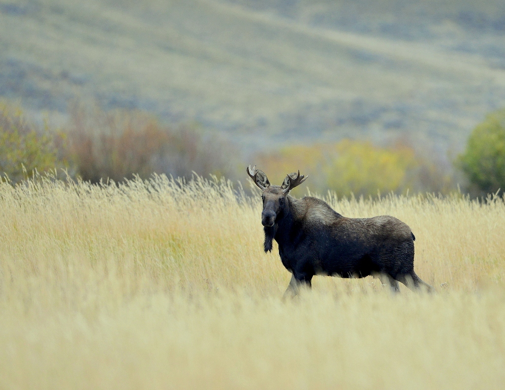 Moose – Bull | Walden, Colorado | September, 2014