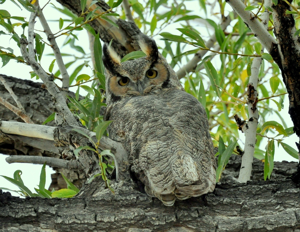 Great Horned Owl | Alamosa, Colorado | September, 2014