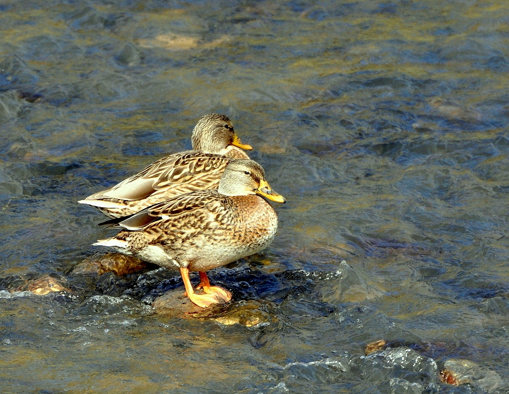 Mallards – Females | Pilar, New Mexico | October, 2014