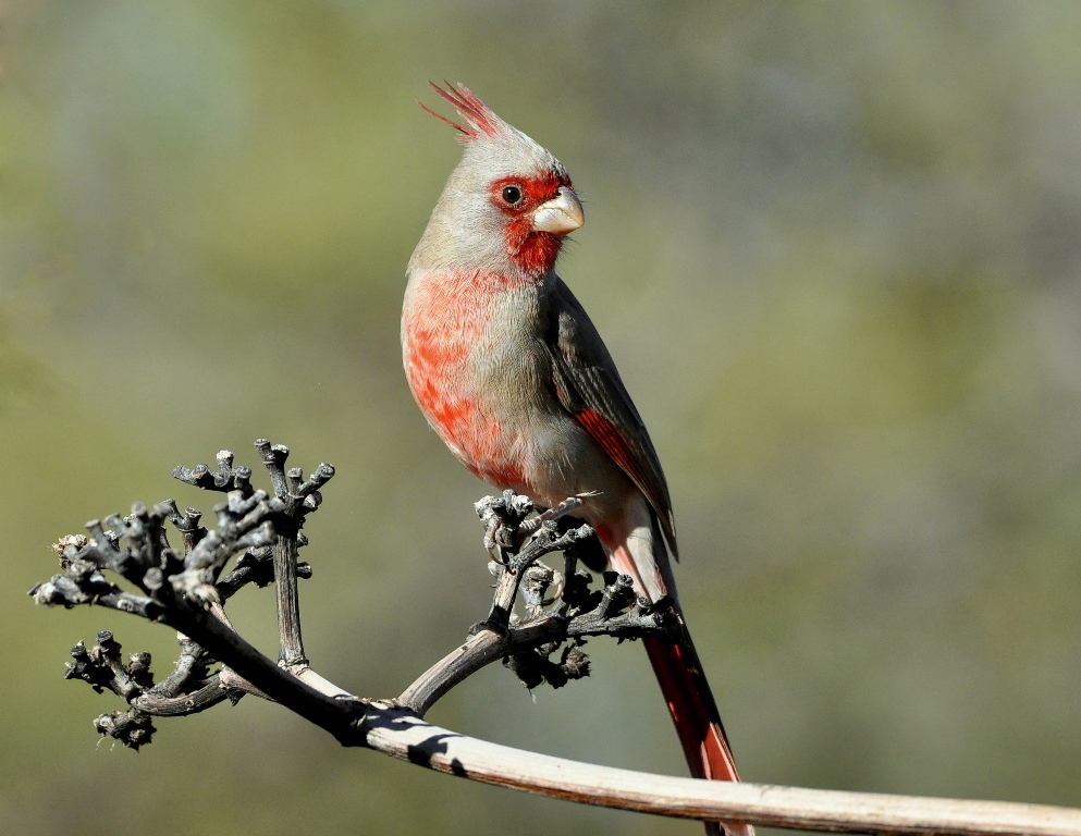 Pyrrhuloxia – Male | Portal, Arizona | November, 2014