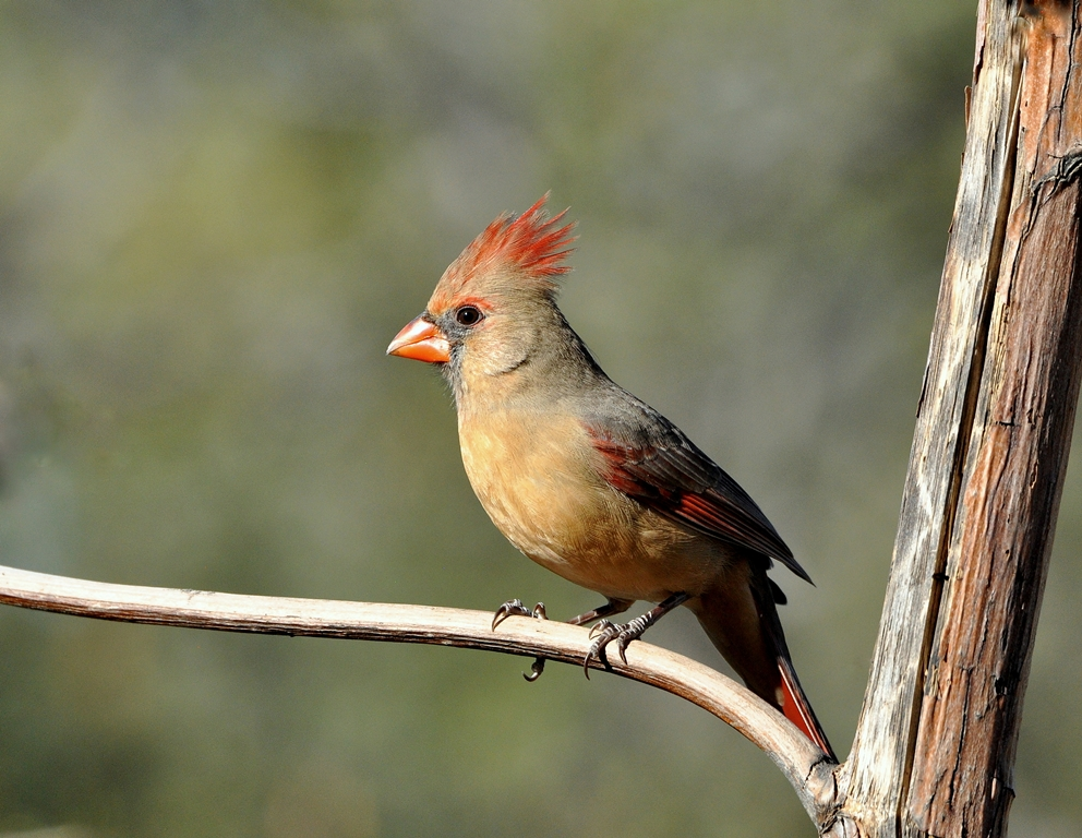 Northern Cardinal – Female | Portal, Arizona | November, 2014