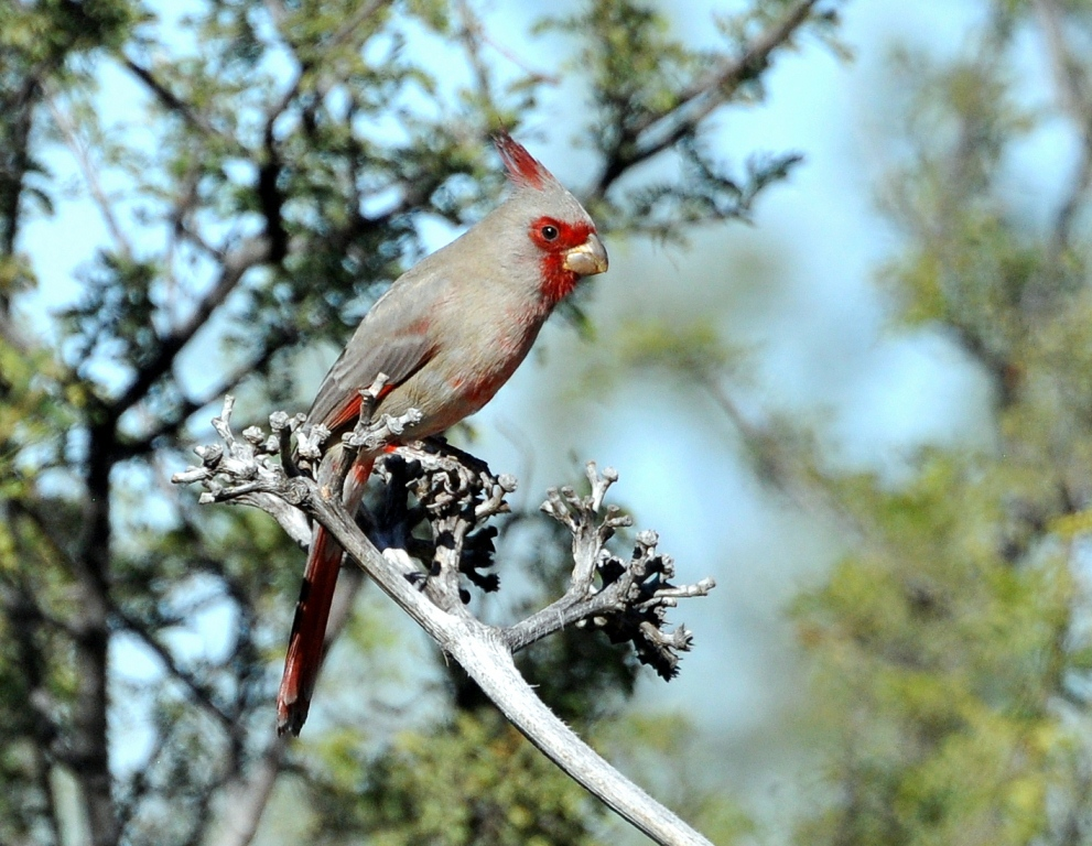 Phrrhuloxia – Male | Portal, Arizona | November, 2014