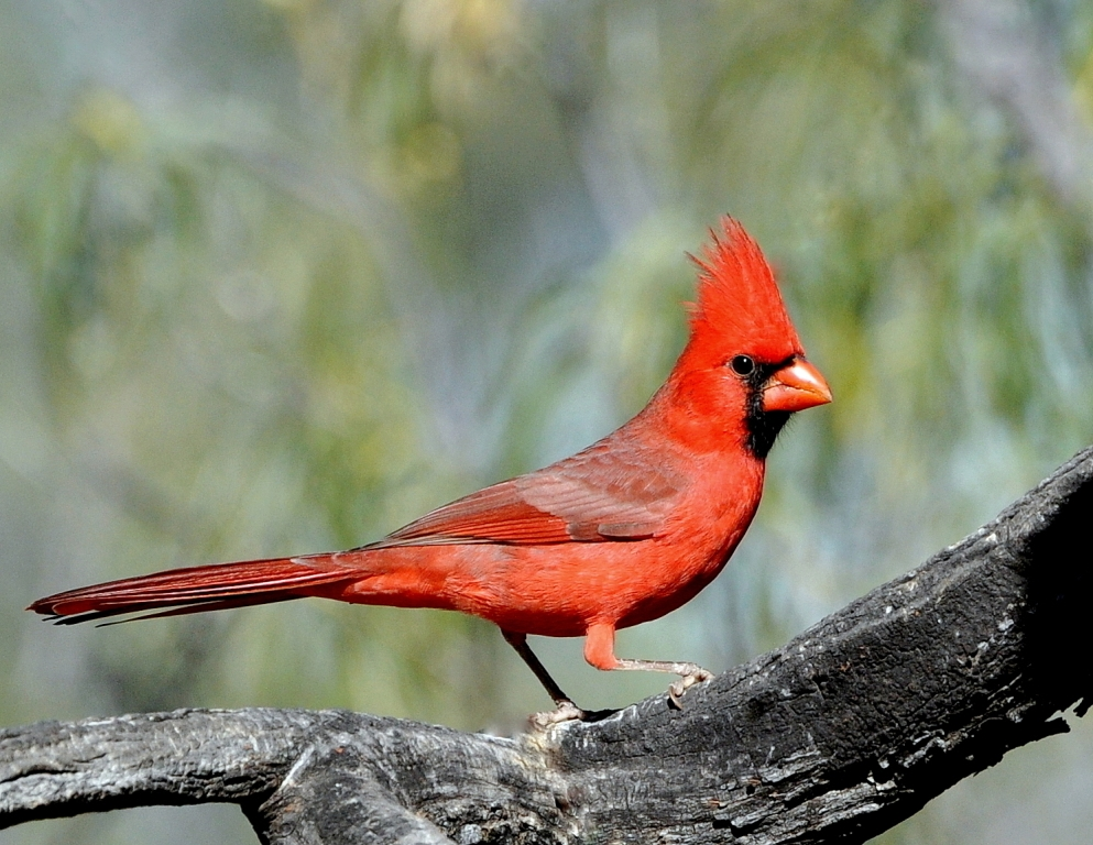 Northern Cardinal – Male | Portal, Arizona | November, 2014