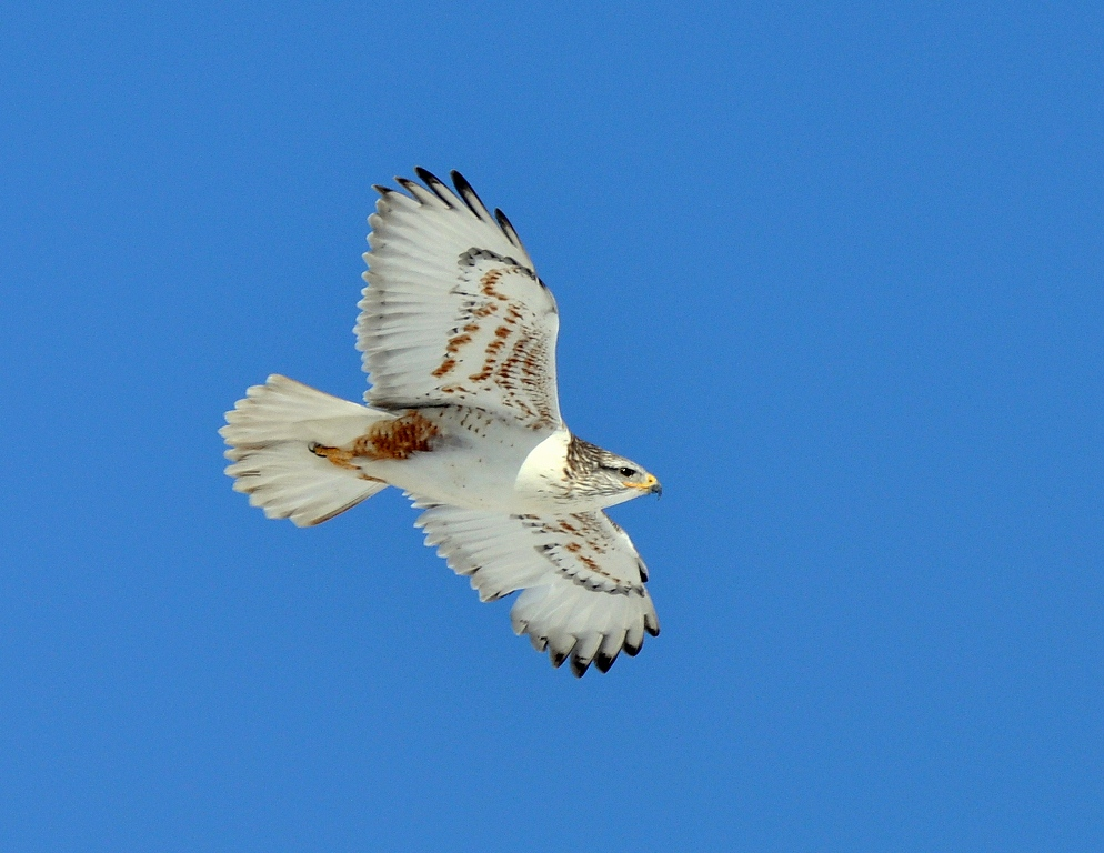 Ferruginous Hawk | Estancia, New Mexico |January, 2015