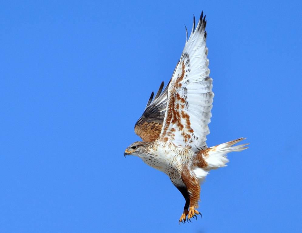 Ferruginous Hawk | Estancia, New Mexico | January, 2015