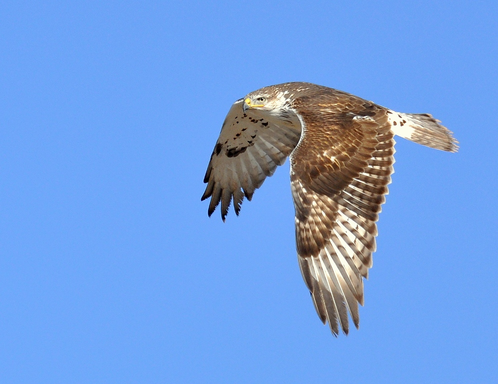 Ferruginous Hawk | Estancia, New Mexico | January,2015