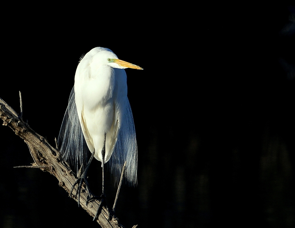 Great Egret | Bosque del Apache | April, 2015