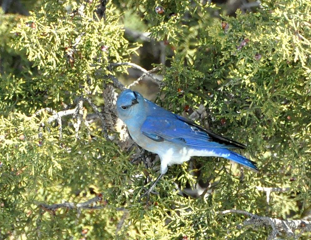 Mountain Bluebird – Male   Cochiti, New Mexico   March, 2015