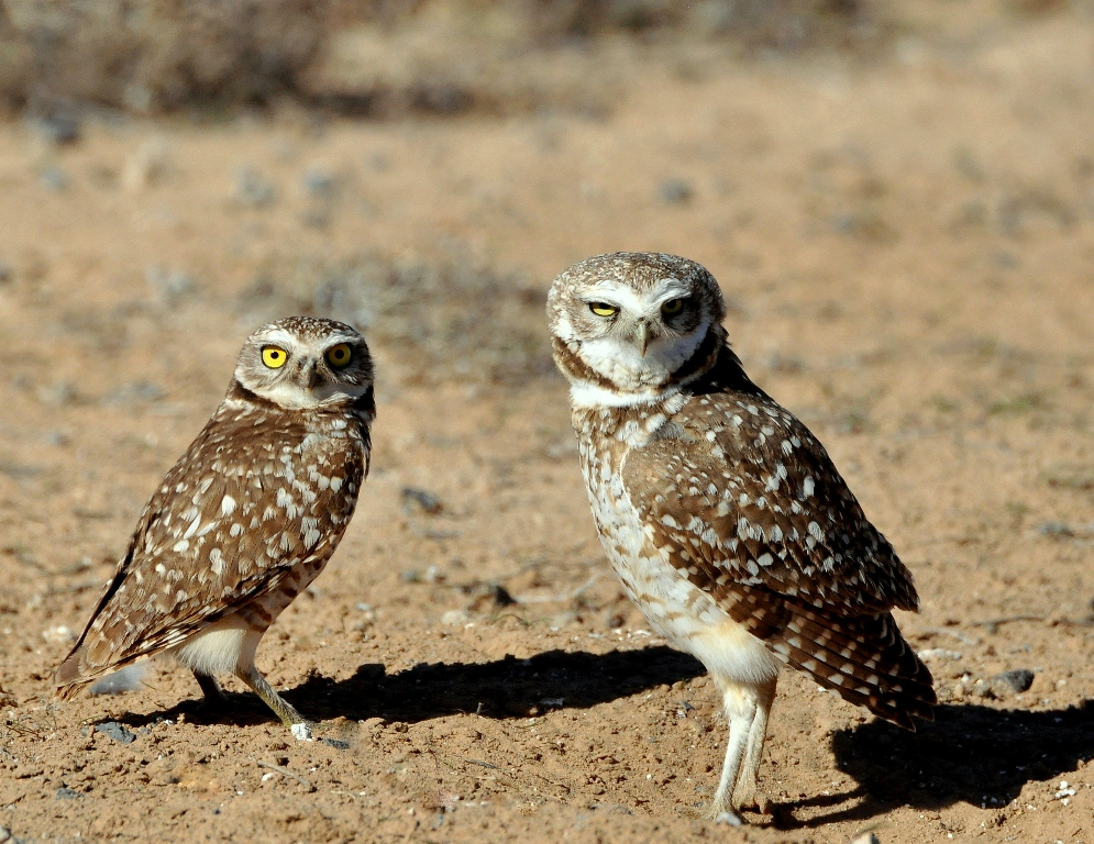 Burrowing Owls | Los Lunas, New Mexico | March, 2015
