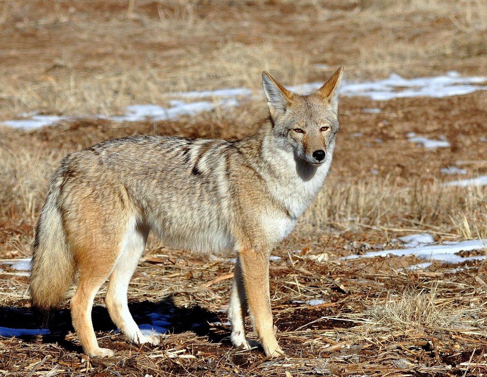 Coyote | Los Alamos, New Mexico | December, 2014
