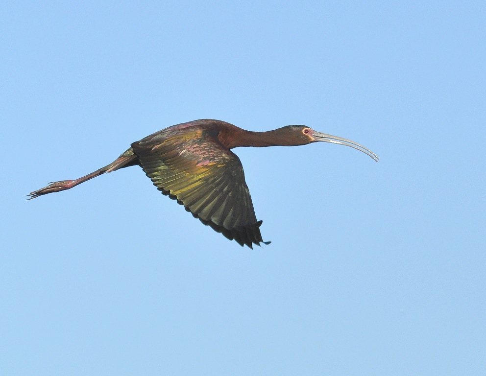 White-faced Ibis | Bosque del Apache | May, 2015