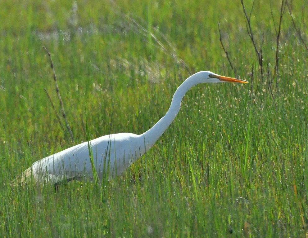 Great Egret | Bosque del Apache | May, 2015