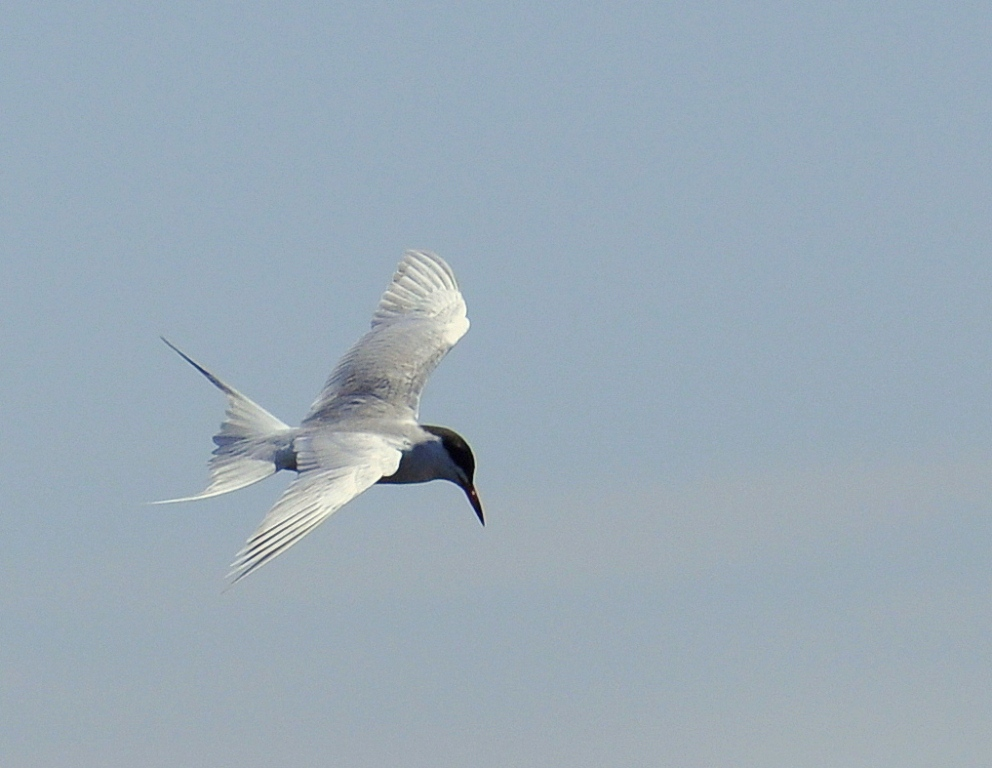 Forester's Tern | Bosque del Apache | May. 2015