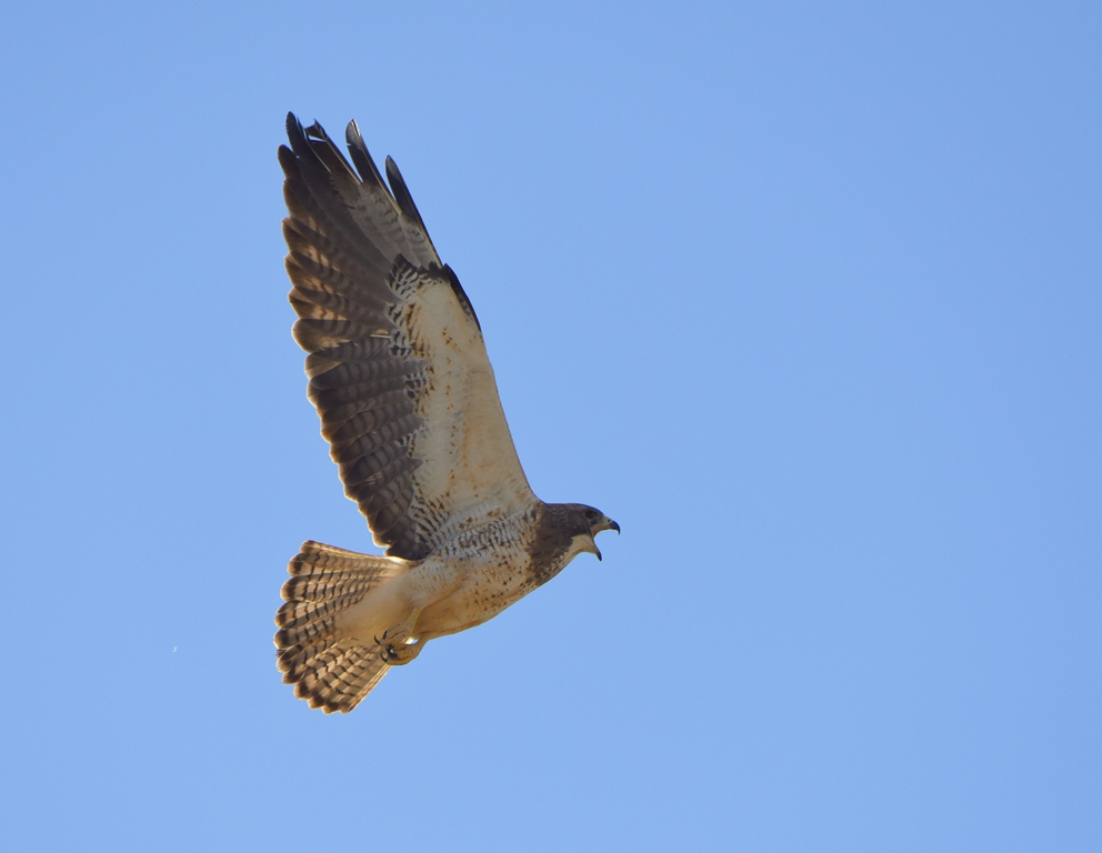 Swainson's Hawk | Estancia, New Mexico | May, 2015