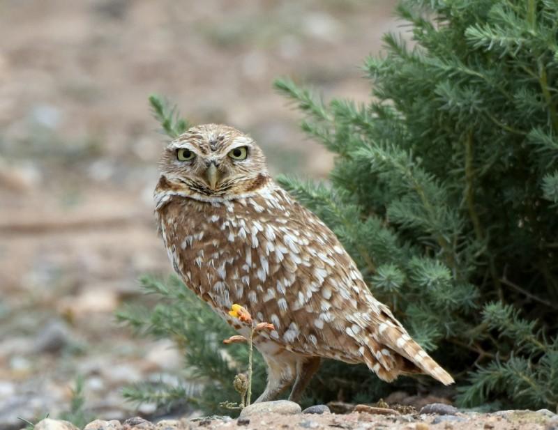 Burrowing Owl | Belen, New Mexico | June, 2015