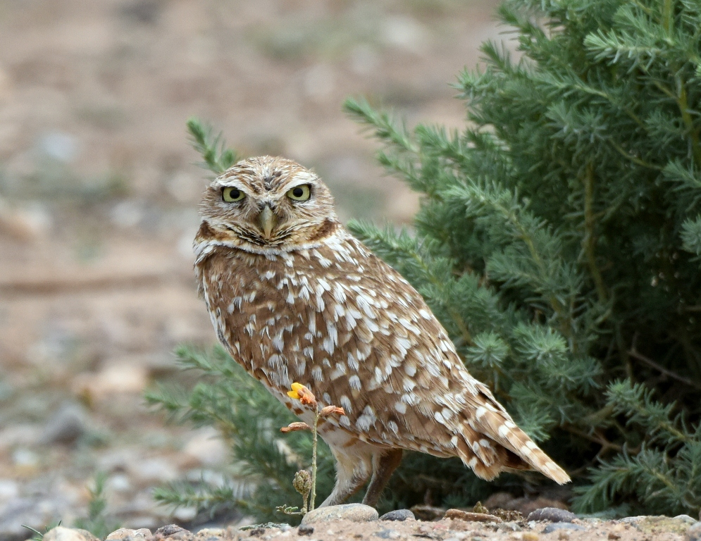Burrowing Owl | Belen, New Mexico | June, 2015