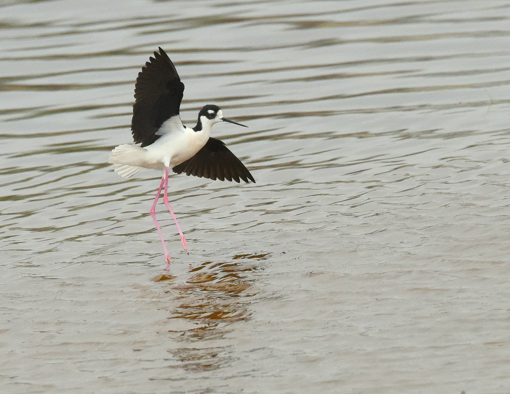 Black-necked Stilt | Belen, New Mexico | May, 2015