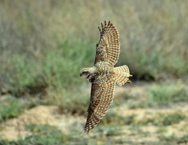Burrowing Owl | Los Lunas, New Mexico | May, 2015